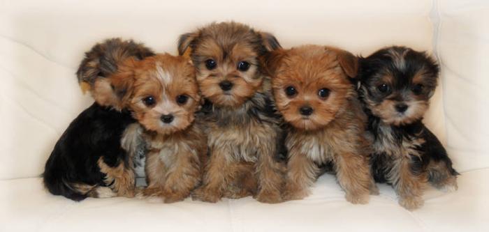 LOOK ! ! ! * * TINY TINY MORKIE ANGELS ( YORKIE X MALTESE ) for sale ...