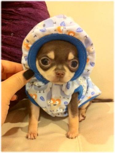 baby teacup chihuahua clothes tiny teacup chocolate akc