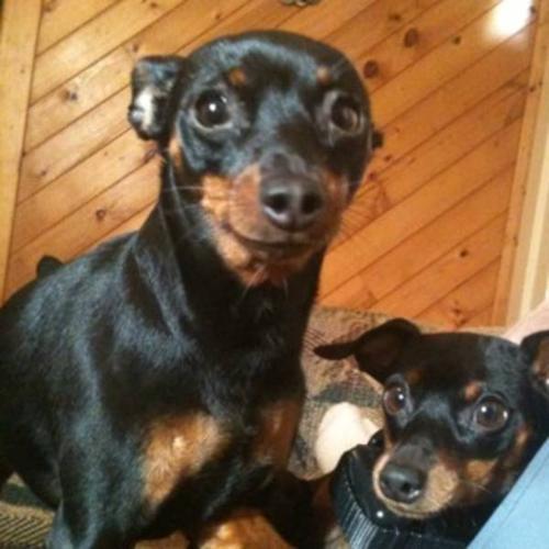 2 PURE BREAD Min Pin Dogs for sale in Port Alberni, British