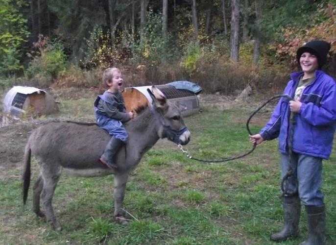 2 year old miniature donkey Jenny, sale or trade