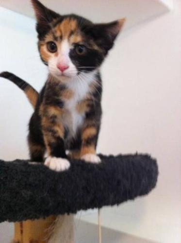 Baby Female Cat Calico Domestic Short Hair Orange
