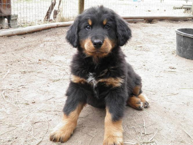 Bernese Mountain Dog Puppies For Sale British Columbia