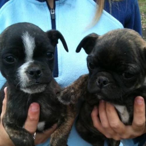 Bugg Puppies in Montney, British ColumbiaFor Sale
