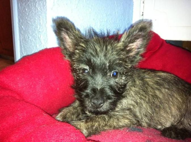 Cairn Terrier/West Highland Terrier cross puppy for sale in Fernie