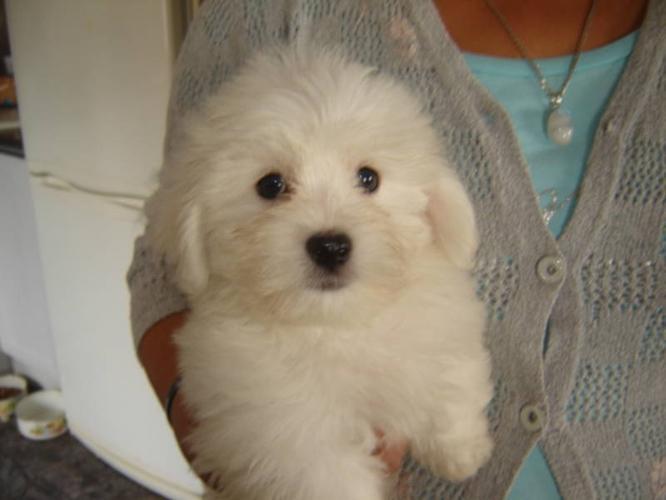 Coton De Tulear Puppies for sale for sale in Garibaldi