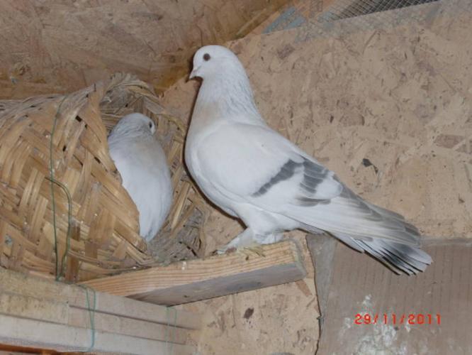 crack tumblers pigeon