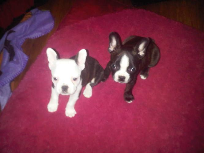 French Bulldog cross Boston Terrier Puppies for Sale! GIRLS &BOY for