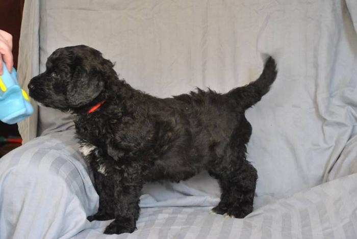 Giant Schnoodle F1 Puppies For Sale In Duncan British Columbia
