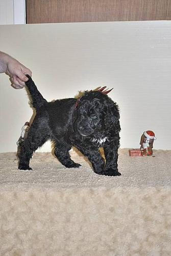 Giant Schnoodle Puppies For Sale In Duncan British Columbia