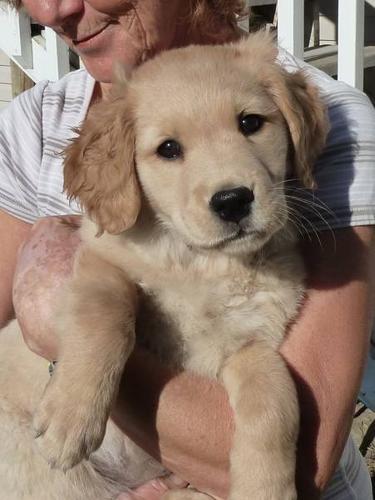 Golden Retriever Female Puppy For Sale In Pritchard British