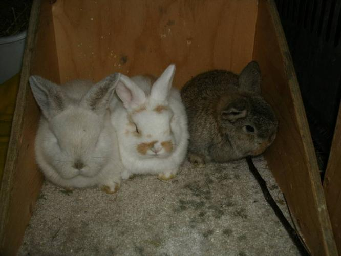 Holland lop baby rabbits for sale in Exeter, Ontario - British