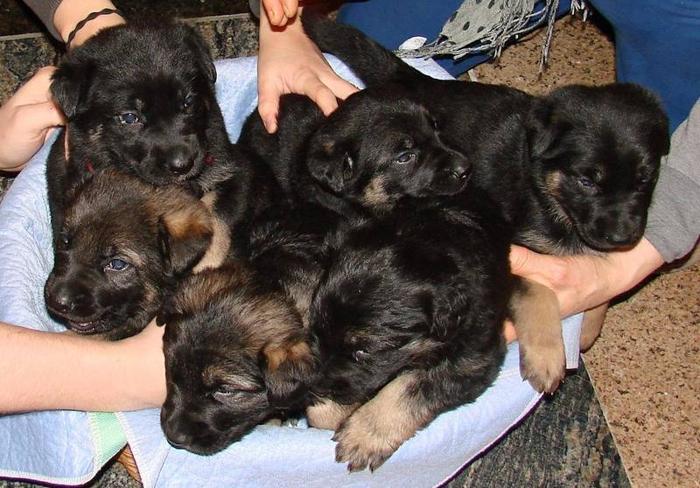 King Shepherd Cross German Shepherd Puppies for sale in