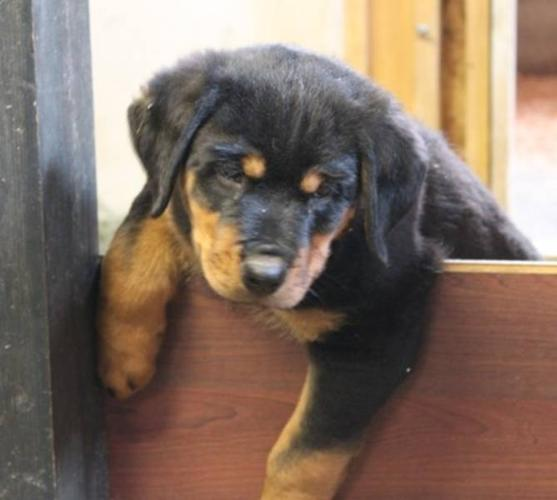 Large German Rottweiler Pups For Sale In Chilliwack British