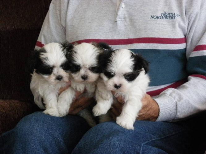 Maltese / Shih Tzu puppies for sale in 100 Mile House, British