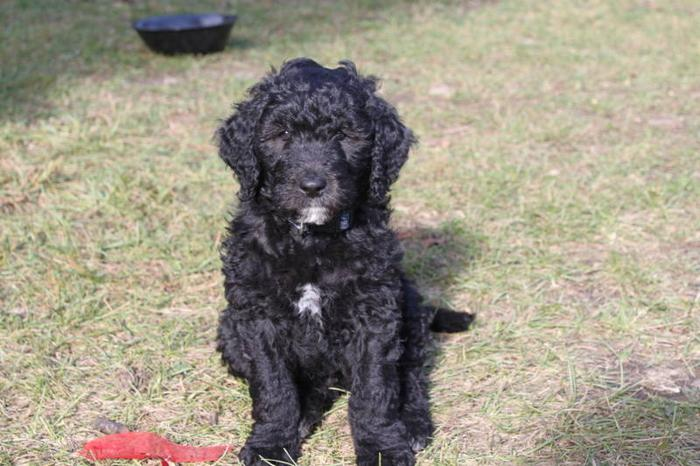 Portuguese Water Dog X Goldendoodle for sale in Lumby ...