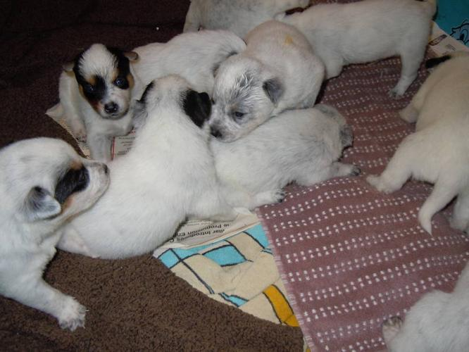 Purebred Bue Heeler Pups