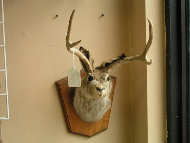 Rare Jackalope Taxidermy For Sale In Salmon Arm British