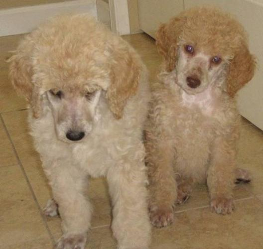 Standard Poodle Puppies for sale in 100 Mile House, British