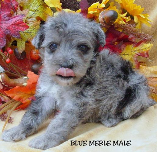 Unique Toy Mini Schnoodle Puppies For Sale In 150 Mile House