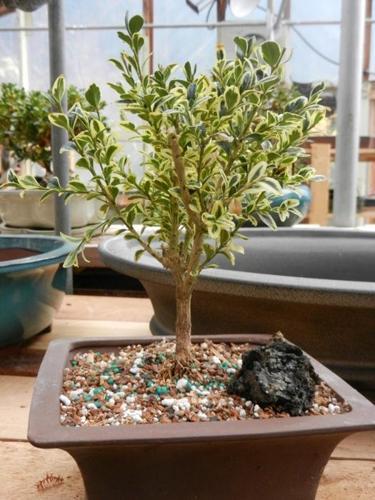 Variegated Boxwood Bonsai