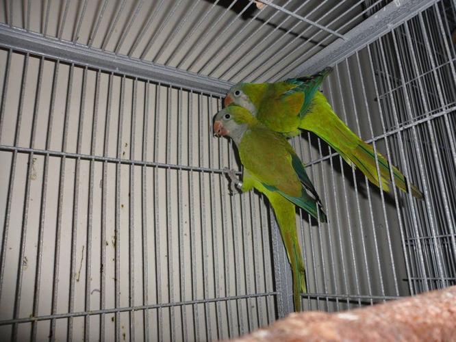 View 36 best baby quaker parrots for sale images