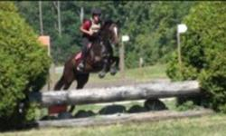 Short Stuff: Athletic, honest, and fun 8 year old 15.1 hh bay TB mare. Many positive and solid show miles in hunters low jumpers and eventing to pre-training, plus pleasure riding out on roads and trails. A great all round horse for a small adult or child