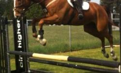 I am looking for a leaser for my show horse as I won't be able to ride him as often he needs. He is a 17hh 8 year old ottb gelding, very sensitive and goofy, sweet personality and lots of fun to ride. Currently showing 1m and schooled to 1.10m, with tons