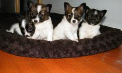2 female tri-colour Papillon puppies will be ready for christmas.