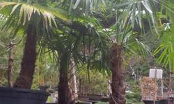 Windmill Palms, Trachycarpus fortunei, Vancouver Island container grown Windmill Palms, evergreen, deer resistant, 45 gallon size, 3 only available@ 450.00 each, @ Peninsula Flowers Nursery 8512 West Saanich Rd 250 652 9602 Opening hours on our mobile