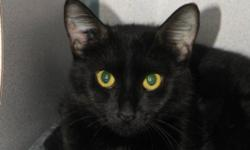 Breed: Domestic Short Hair-black   Age: Adult   Sex: F   Size: S Pia has just returned from being in foster care with her kittens. They have all found homes and now Pia is getting ready for hers. Pia is very nervous of people and likely hasn't had much
