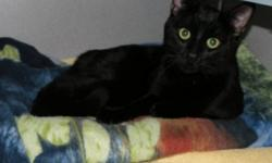 Breed: Domestic Short Hair-black   Age: Adult   Sex: F   Size: M Sushi is a younger cat, likely around 1-2 and is a little unhappy about being at the shelter. He's not too sure about all the other cats, especially the males and would be best as the only