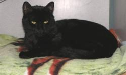 Breed: Domestic Short Hair-black   Age: Adult   Sex: M   Size: L Dominic is a handsome and friendly cat. He tends to stick to himself and likes to jump up to the highest perch. Dominic can get a little testy with the other cats, but in a big house would