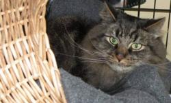 Breed: Tabby - Brown Domestic Medium Hair   Age: Adult   Sex: M   Size: L Forest is very affectionate and loves to cuddle. He has the tiniest voice and will talk to you to get attention. Forest has been sticking to himself but would most likely be fine