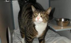 Breed: Tabby - Brown Domestic Short Hair   Age: Adult   Sex: M   Size: L Lucas is a handsome boy who was in a bit of rough shape when he arrived. He was limping and had a very bad urinary tract infection. He's on the mend and is on a special diet. Lucas