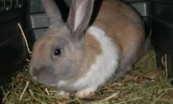 Breed: Dwarf   Age: Adult   Sex: M   Size: S Bunjaloo is a friendly rabbit with beautiful markings. He can get a little nippy when he's excited so may be best in a home with older children. Bunjaloo has made friends with Bungie and the two would love to