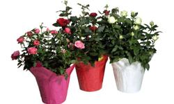 BIGGEST SALE ON ALL FLOWERING PLANTERS & GIFT BASKETS***Buy any 2 items, get the 3rd item for FREE! Alma Convenience Store 3701 West Broadway, Unit 1 (Alma St & Broadway) Vancouver, BC V6R 2B9 Canada BIGGEST SALE OF SPRING SEASON ON ALL FLOWERING PLANTERS