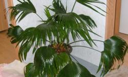healthy very large chinese palm plant , currently much larger than in this photo
