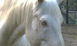 Can you find it in your heart to help this guy out? Companion Horse for Long-term Free Lease. Not rideable -companion only. Sweet, willing, in-your-pocket type Cremello QH gelding. He 17 years old, 15hh. I have had him since he was a yearling, and he has