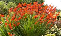 I'm thinning some overgrown garden beds and have lots of free crocosmia bulbs, small rudbeckia and geum. There are also strawberry plants and periwinkle that you can dig yourself from my garden. And some ground covers that are taking off across the