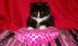 We have 4 very cute kittens that are ready to go to new homes.   They are litter box trained and they have been dewormed.   They are all fluffy except for the black one that has short hair (she is a girl while all other kittens are boys). They are