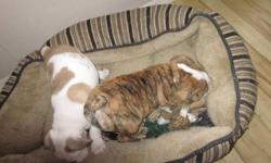 2 girls and 1 boy left , looking for loving homes a.s.a.p. , parents are registered , pups will be sold on a no breed contract. they are happy healthy puppies who were naturally whelped . they have their first and second set of shots and been de wormed.
