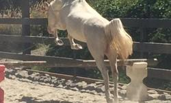 Brie is a calm, consistent, fun 3 year old mare. She has been lighly backed and has shown no buck or bolt. She is ridden on a loose rein and is comfortable with leg pressure. She is 12.3hh with stunning blue eyes.