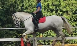 Nivvy is a 16hh 14 year old Spanish Norman Mare ( half Percheron half Andalusian). Incredible temperament and very willing. Level 2 dressage. Extremely smooth gates. Loves trail rides and to jump but not competitively. Always calm at shows and trailers