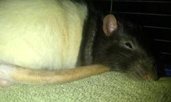 I have 2 rats (itchy and ginger) that I would like to find a loving home for before I move. The apartment I am moving into doesnt allow pets. They are around 8 months old, ginger is a bit anti-social but Itchy loves attention and being pet and played