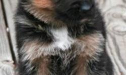 Beautiful 8 PUPPIES.....6 males .2 females..Black/tan ...born Dec 8 /2011 .They are ready to go now .. .both parents on site to view, they are vet checked , dewormed & 1st shot done. highly intelligent, wonderfully affectionate, and great for people of