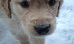 Golden Retriever Pups . Non reg'd. 2 females and 2 males left from litter to sell. Both parents available to view. Have 1st set of shots and dewormed. Great Family pets. Raised with our large family so very well socialized ..Located 20 min from Kamloops 7