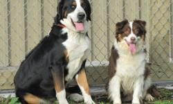Dad is a Rare Greater Swiss Mountain Dog( the same as the Bernese mountain dog but with a short coat ) and mom is a highly intelligent Australian Shepherd, both parents are here to meet along with the puppies.  Puppies are vetted with first