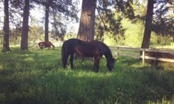 We have a space available for one relaxed, easy-going boarding horse starting immediately. Beautiful, peaceful farm right on Quamichan Lake with roomy and varied all year herd turnout with one other wonderful mare, lots of tack room space, big cozy stalls