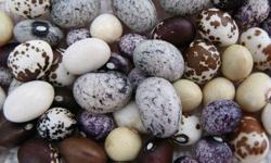 """Why not try growing some drying beans this season ? Locally grown drying bean transplant in """"6 packs"""" for $4.00. Red Kidney and Black Turtle varieties. Lots of other vegetable plants for sale, check out the website for a complete list."""