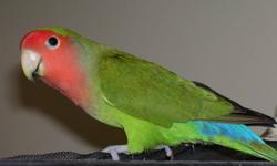 4 year old bonded pair of lovebirds, named Jack and Jill. They must go together. No cage, $40.00 for both. They are not very sociable and keep to themselves. sold, sorry.